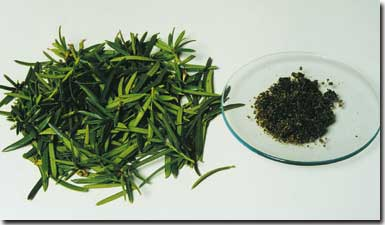 paclitaxel-yew-needles